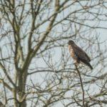 Drapieżne ptaki czyhają przy podszczecińskich drogach